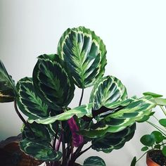 I can get so bloody excited about the prettiness of leafs 🙈😬✌🏼 Succulent Hanging Planter, Hanging Planters, Garden Club, Cacti And Succulents, Indoor Plants, House Plants, Flower Power, Planting Flowers, Greenery