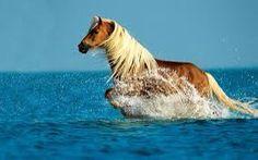 Canadian horse galloping through water