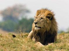 size: Photographic Print: Portrait of a Resting Male African Lion, Panthera Leo by Beverly Joubert : Wild Lion, Owning A Cat, Curious Cat, Animal 2, Fleas, Big Cats, Have Time, National Geographic, Lions