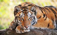 Free screensaver tiger