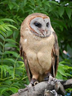 Ashy-faced Owl Tyto glaucops - Google Search