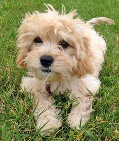 Lily the Bichon Frise Mix -- Puppy Breed: Bichon Frise / Cavalier King Charles Spaniel