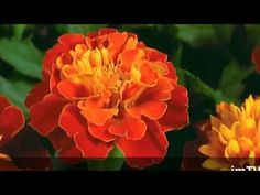 TOP 50 Proses Bunga Ketika sedang Mekar - YouTube Music Publishing, Make It Yourself, Flowers, Youtube, Editor, Artists, Royal Icing Flowers, Flower, Youtubers