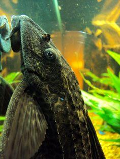 Suckerface Catfish (Hypostomus plecostomus)