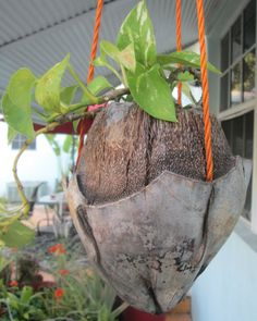 """Coconut planter. Every planter is unique. Approx 5-6"""" h and opening are approx. 4 in. Hanging planter with cord included. $8/1"""