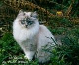 """Siberian, Maine Coon, and Norwegian Forest Cats are similar breeds  """"Siberians are glorious cats, with personality-plus, which qualifies them as an all-around good candidate for a pet""""  """"Although no confirming scientific studies have been made, this breeder has some empirical evidence that the Siberian may lack the FEL D-1 protein in its saliva which is responsible for dander, the primary cat allergen."""" So there is hope! :D lol"""