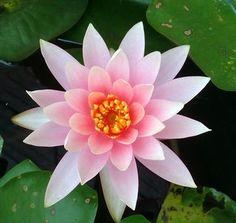 Flor de Lótus No simbolismo budista, o significado mais importante da flor de lótus é pureza do corpo e da mente. A água lodosa que acolhe a planta é associada ao apego e aos desejos carnais, e a flor imaculada que desabrocha sobre a água em busca de luz é a promessa de pureza e elevação espiritual.