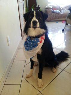 Border collie — Bolt — bandana E.U.A.