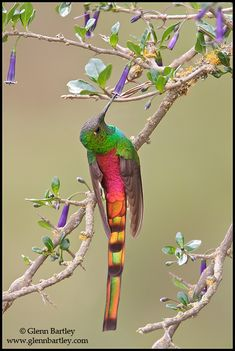 Red-tailed Comet (Sappho sparganura) perched on a branch in Bolivia, South America.
