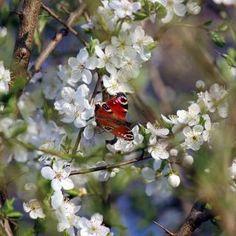 Schlehe - Prunus spinosa günstig online kaufen