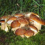 Bratříčci Mushroom Hunting, Mushroom Art, Mushroom Fungi, Edible Wild Mushrooms, Growing Mushrooms, Stuffed Mushrooms, Mushroom Pictures, Mystical Forest, Slime Mould