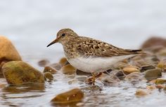 Calidris temminckii (Temminck's Stint)