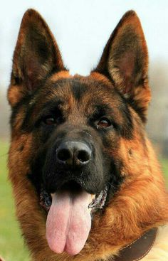 1000+ images about King Shepherd on Pinterest | King ...