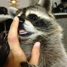 PYF Raccoon: Too pure for this tainted world. - The Something Awful Forums Animals And Pets, Baby Animals, Funny Animals, Cute Animals, Strange Animals, Funny Raccoons, Baby Raccoon, Racoon, Raccoon Teeth