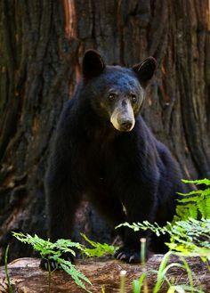 El oso negro (Ursus americanus) Se reconocen 16 subespecies, algunas amenazadas. El oso negro no hiberna en sentido estricto, sino que pasa el invierno en un estado de somnolencia, viviendo de las reservas de grasas acumuladas durante el otoño. Es omnívoro, aunque su régimen alimentario es en su mayor parte vegetal.  Contrariamente a los prejuicios, el oso negro es un buen nadador y trepa fácilmente a los árboles para escapar de un peligro.
