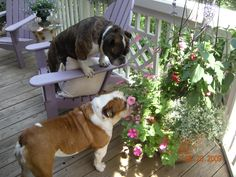Love these 2 dogs! Chloe (on the chair) and Wilson!