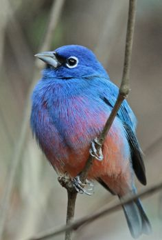 Rose-bellied Bunting was one of the species Noah added in May