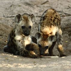 Spotted Hyena Cubs.JPG - Wikipedia. Yes, Hyenas are Feliformia.