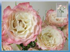 Chablis rose