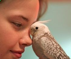 Pets Care - How to Care for Your Pet Bird - Tips resources for feeding housing enrichment and more for parrots and other birds kept as pets The way cats and dogs eat is related to their animal behavior and their different domestication process. Cockatiel, Budgies, Parrots, Parrot Pet, Parrot Toys, Funny Bird, Bird Aviary, Cat Behavior, Pet Care Tips