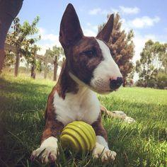 Bull terrier ingles. Chass