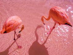 Flamingos on pink sand. So very, very pink Pink Martini, Pretty In Pink, Josie Loves, I Believe In Pink, Pink Bird, Foto Art, Everything Pink, Grafik Design, Pink Flamingos