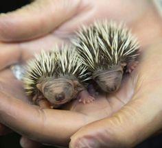 Hoglets - baby hedgehogs!