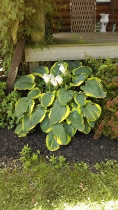 One of my favorite hosta