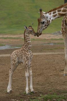 Rothschild Girafa Giraffa Cartão