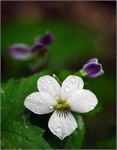 The sweet white violet was once common in but now is near-extinct, along with most other violets. The white violet has demonstrated a weak ability to respond to climate change by shifting its flowering time.