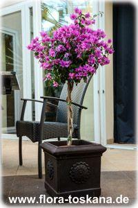 Violett Blüte Der Prunkwinde | Garten | Pinterest Exotische Pflanzen Garten Bougainvillea Drillingsblume
