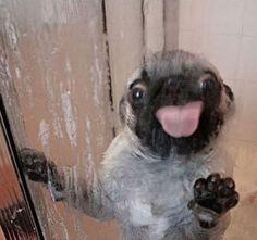:P #pug