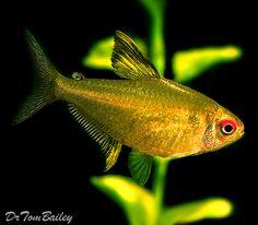 Amazon Tetra, Featured item 10/03. #amazon #tetra #aquarium #freshwater #petfish #fish #featureditem