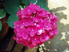 美しい花を咲かせるあじさい。これは梅雨や初夏を楽しむ風物詩です。小さな花がたくさん集まり、それが大輪の花に見える。I am shaped and fashioned by what I love.