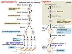 Difference between spermatogenesis and oogenesis reproductive gametogenesis spermatogenesis oogenesis ccuart Images