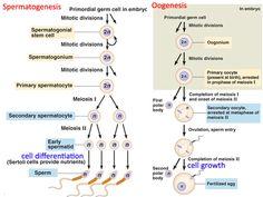 Gametogenesis -- Spermatogenesis & Oogenesis