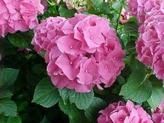 Old Wood, New Wood?- How Do You Prune Your Hydrangeas