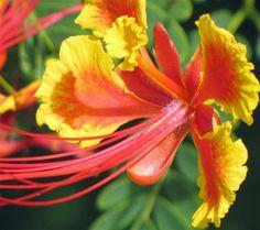 Royal Poinciana flower in Miami Beach by ctberney, via Flickr