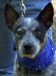 ADOPTED-Maze - Family Dog is an adoptable Australian Cattle Dog (Blue Heeler) Dog in Joliet, IL. Meet Maze is a 2-3 year old female ACD, she came from a Georgia kill shelter. Maze is great with kids ( I hav...