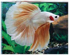 Gorgeous goldfish<-- I think you meant 'gorgeous gold fish' ;) Cuz this is a BETTA fish than goldfish. Betta Tank, Beta Fish, Siamese Fighting Fish, Fresh Water Tank, Beautiful Fish, Exotic Fish, Aquarium Fish Tank, Freshwater Fish, Tropical Fish