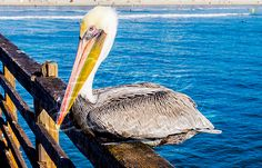 Home Again By The Ocean by Aileen Everlast  This photo was shot in Oceanside, California on the Oceanside Pier, this pelican was quite the ham, allowing multiple people to take photographs of it! Very interesting day indeed.