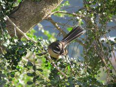 fantail-a native new zealand bird