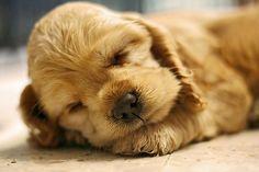 Sleep tight Cocker Spaniel puppy