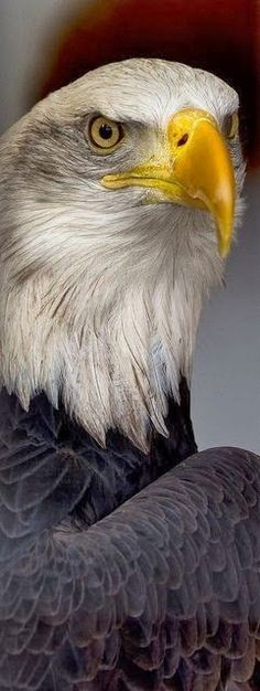 Eagle is a common name for many large birds of prey of the family Accipitridae; Most of the 60 species of eagles are from Eurasia and Africa. Pretty Birds, Love Birds, Beautiful Birds, Animals Beautiful, Majestic Animals, Small Birds, Rapace Diurne, The Eagles, Bald Eagles