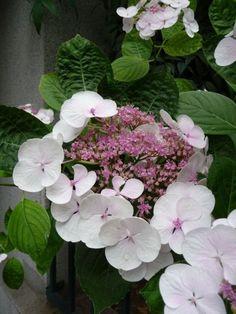 Inflorescence d'hortensia 'Libelle' (Hydrangea macrophylla 'Libelle')