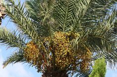 Garden High Palm Trees North Israel Dates Have Ripened - Stock Photo , #Affiliate, #Trees, #North, #Palm, #Garden #AD