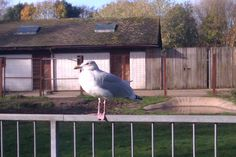seagull. i dont know if this is part of the zoo?(blackpool zoo, 2014)