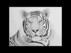 Speed drawing: Siberian Tiger by Andrew Forkner