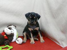 Paxton   ♂   carlin pinscher   10 weeks   $550