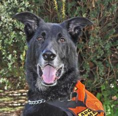 Hunter is 80 lbs of love. He is 8 years young, very healthy but a littleunder weight, and gets along with dogs, cats, kids...everyone andeverything. He loves to go for car rides, knows some basic commandsand is so food motivated that it will be very...